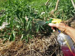 Марганцовка полив помидоров