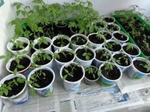 Видео как выращивать рассаду помидор