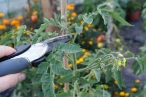 Что такое период вегетации у томатов