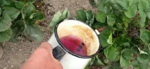 Марганцовка для клубники