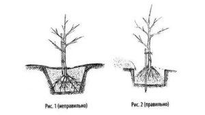Как правильно выбрать место для посадки яблони