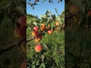Абрикосы выращивание в подмосковье