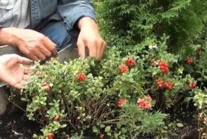 Выращивание брусники на даче