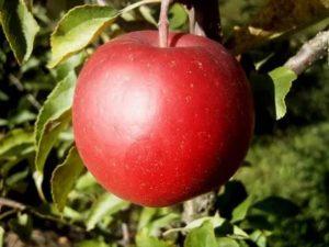 Сорта яблонь лигол