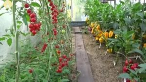 Перцы и томаты в одной теплице