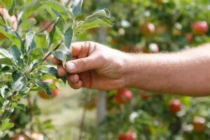 Почему не растет яблоня