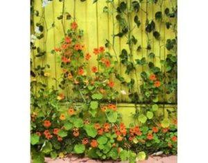 Однолетние вьющиеся цветы для сада