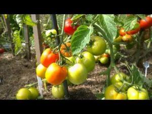 Лучшие томаты для урала в открытом грунте