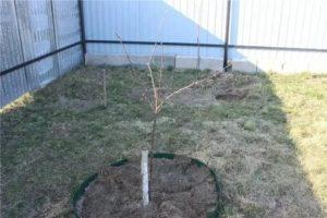 Выращивание саженцев яблони