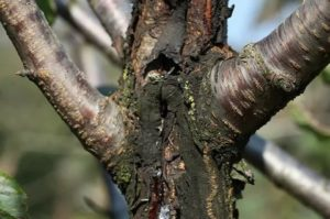 Болезни коры плодовых деревьев фото