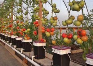 Новые способы выращивания томатов