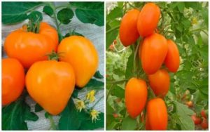 Желтоплодные сорта томатов