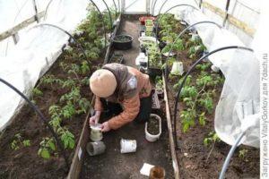 Когда высаживать рассаду в теплицу в