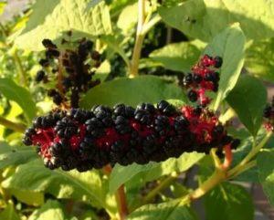 Деревья с ягодами похожими на ежевику