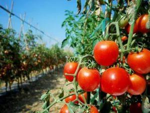 Суперурожайные помидоры