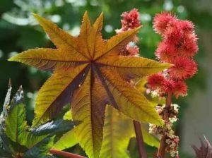 Клещевина фото цветы