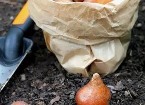 Подготовка тюльпанов к посадке