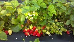 Земляника садовая уход осенью