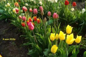 Тюльпан посадка уход в саду