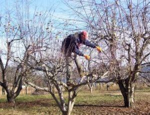 Уход за старой яблоней