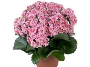 Комнатные цветы с розовыми цветами