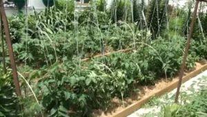 Подвязка помидоров в открытом грунте видео