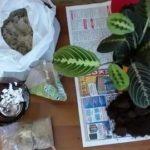 Лизиантус выращивание