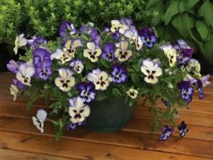 Цветы виола посадка и уход