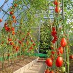 Выращивание дыни в средней полосе россии
