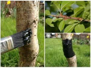 Как защитить плодовые деревья от муравьев