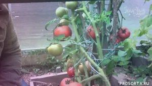 Видео о томатах по сортам