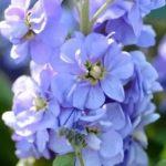 Подкормка многолетних цветов