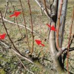 Какие плодовые деревья любят тень