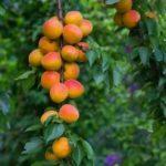 Посадка вишневых деревьев