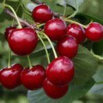 Как правильно вырастить яблоню