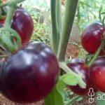 Выращивание черешни из косточки