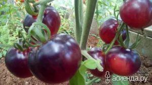 Лучшие сорта томатов для средней полосы россии