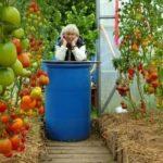 Ранние помидоры отзывы