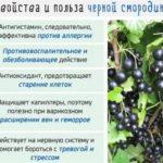 Черная рябина выращивание