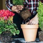 Как размножать пионы