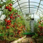 Вкусные сорта томатов