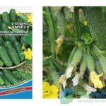 Портулак овощной выращивание