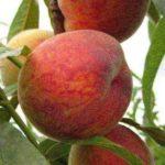 Выращивание пассифлоры съедобной