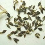 Размножение красной смородины весной