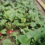 Пихта корейская семя