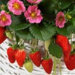 Выращивание черники в домашних условиях