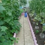 Как рассадить куст смородины