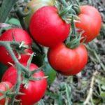 Посадка томатов в грунт видео