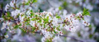 Черешня цветение