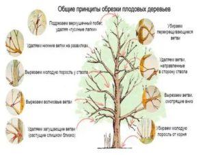 Посадка и обрезка плодовых деревьев